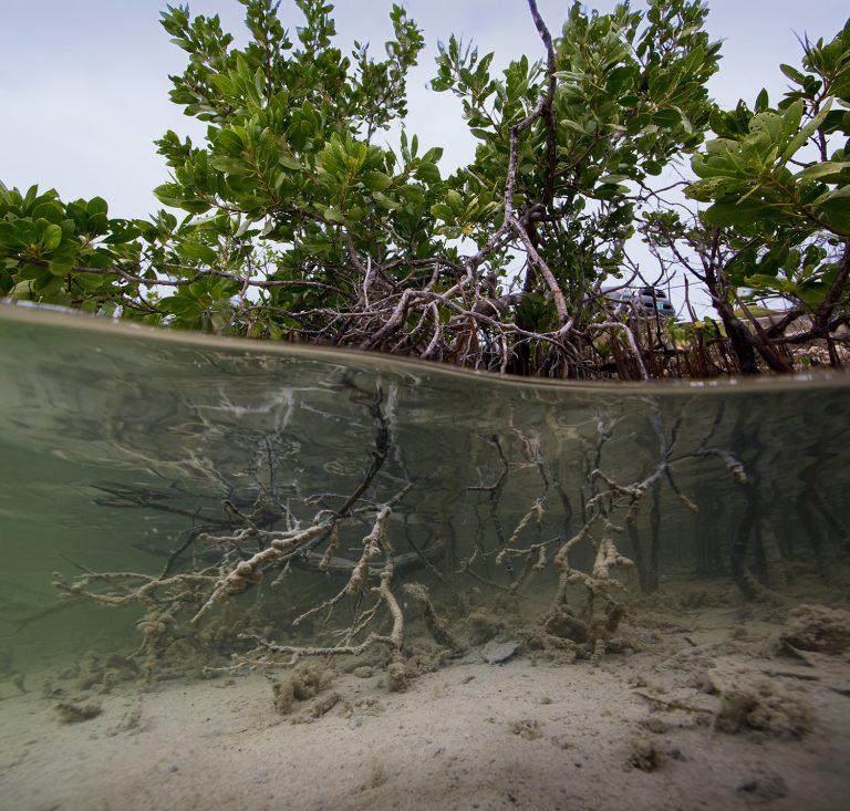 Mangrove 01, 2018