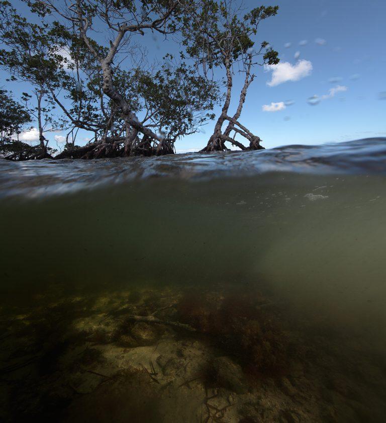 Mangrove, 2011