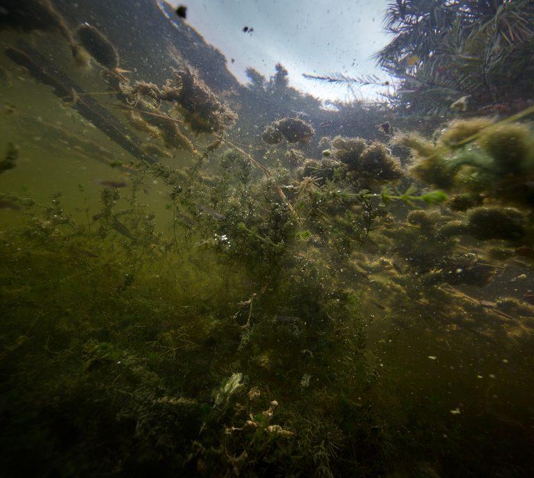 Algae in a pond, 2018